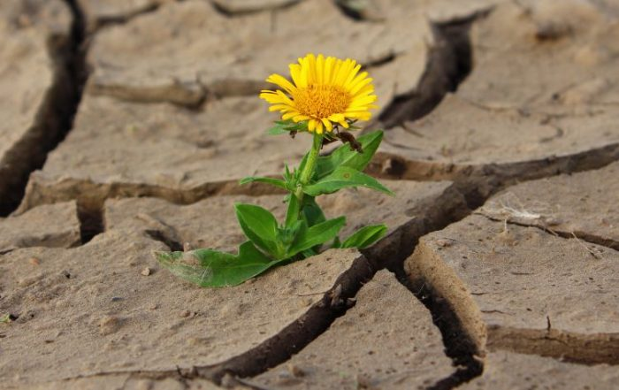 Single yellow daisy rising up through the cracks of a dry, barren, muddied ground.