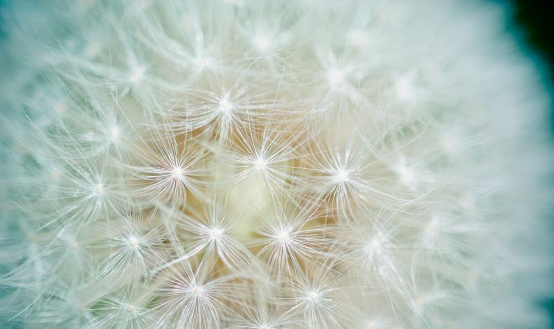 Extreme closeup of a dandelion flower with the seed tips illuminated.